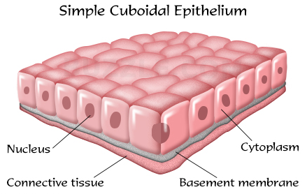 What are the Types of Epithelial tissue 1