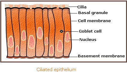 What are the Types of Epithelial tissue 3