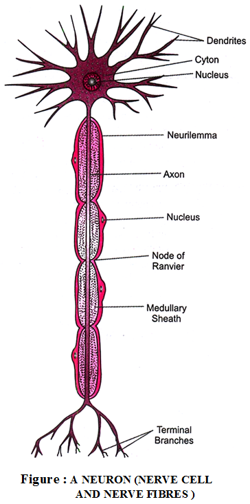 What are the Different Types of Nervous Tissue - A Plus Topper