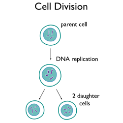 Simple Human Cell Diagram