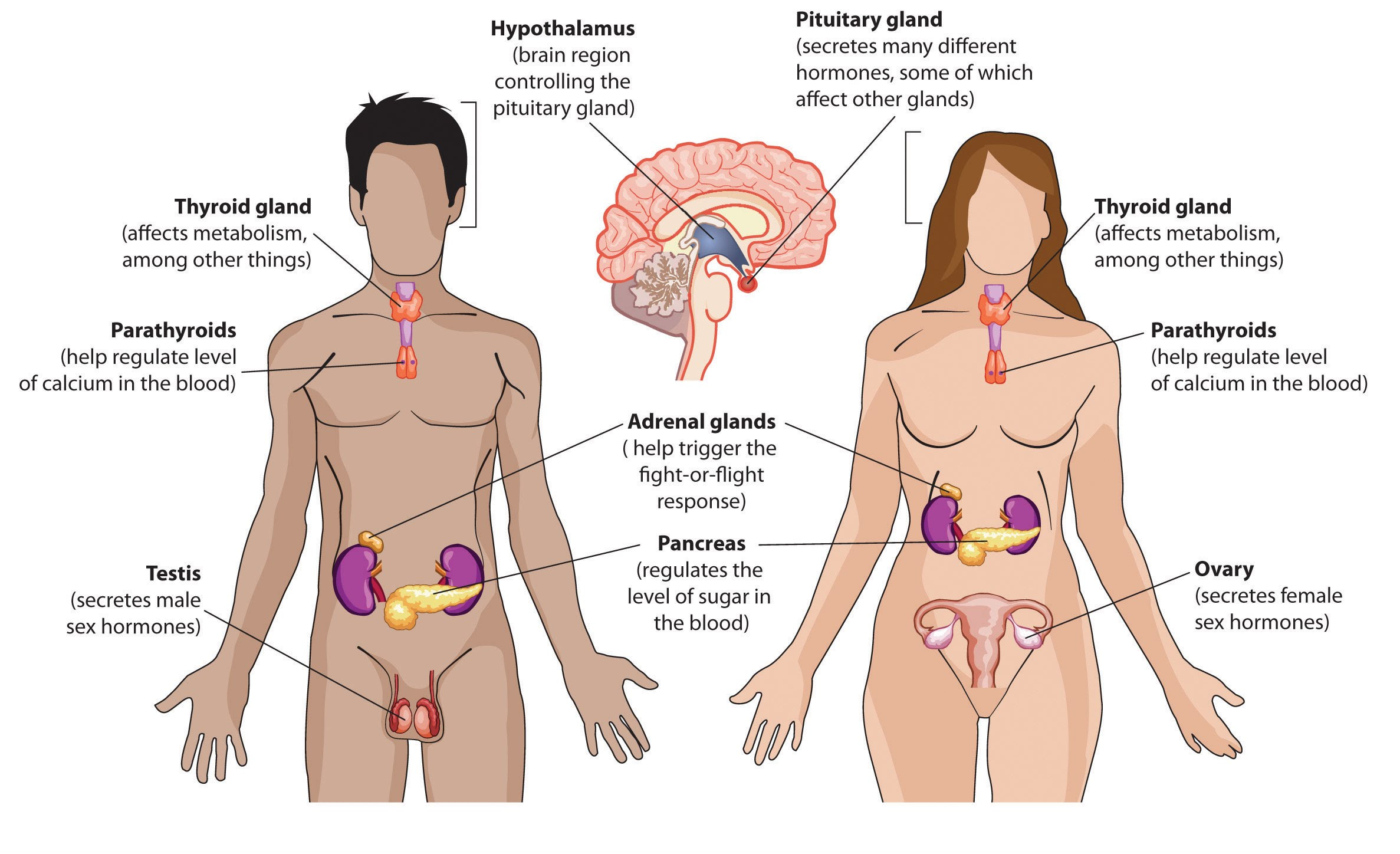 the endocrine system – icse solutions for class 10 biology - a, Human Body