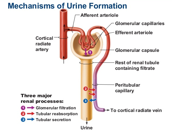 Explain the Mechanism of Urine Formation 1