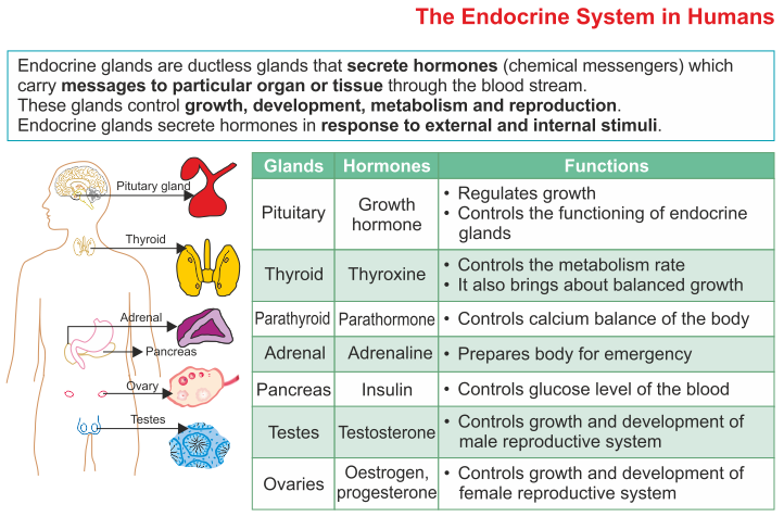 The Endocrine System ICSE Solutions for Class 10 Biology A – The Human Endocrine System Worksheet
