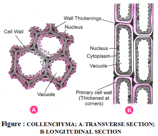 What are the types of plant tissues and their functions 4