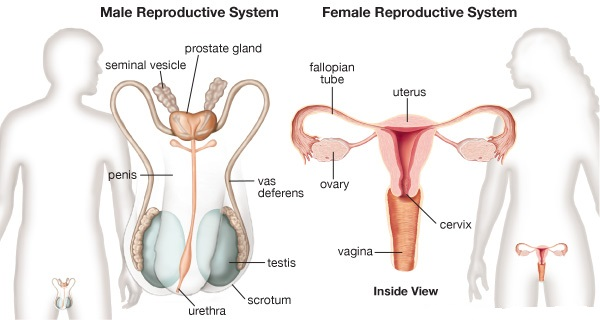 What Are The Differences Between A Vas Deferens And A Fallopian Tube