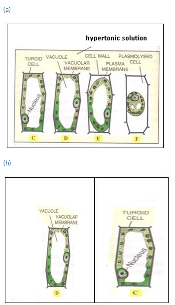 Selina Concise Biology Class 10 ICSE Solutions Absorption by Roots The Processes Involved image - 6