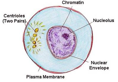 Selina Concise Biology Class 10 ICSE Solutions Cell Cycle, Cell Division and Structure of Chromosomes image - 3