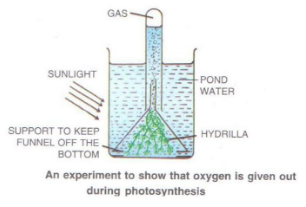 Selina Concise Biology Class 10 ICSE Solutions Photosynthesis Provider of Food for All image - 1
