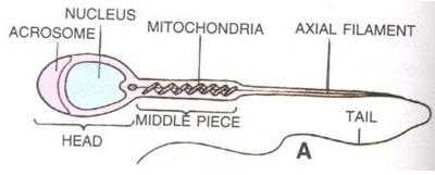 Selina Concise Biology Class 10 ICSE Solutions The Reproductive System image -2