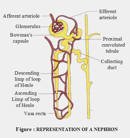 Structure and Function of the Nephron 1