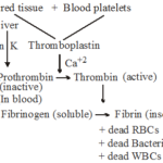 What are the Functions of Blood in Human Body 1