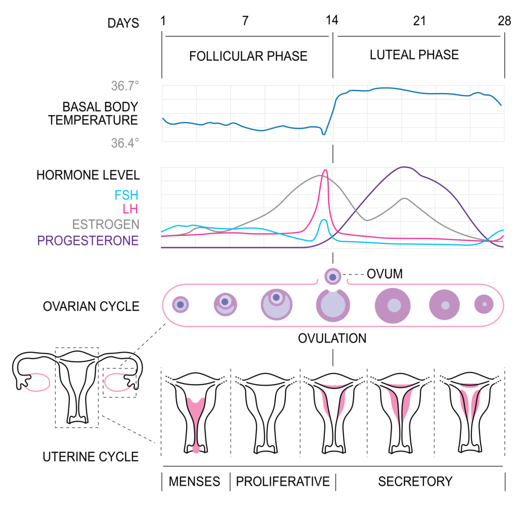 What is Menstrual Cycle 1