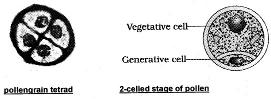 Plus Two Botany Notes Chapter 2 Sexual Reproduction in Flowering Plants 2