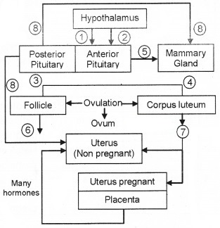 Plus Two Zoology Chapter Wise Questions and Answers Chapter 1 Human Reproduction 3M Q15