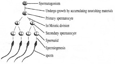 Plus Two Zoology Chapter Wise Questions and Answers Chapter 1 Human Reproduction 3M Q2.1