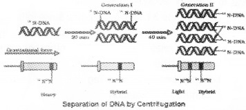 Plus Two Zoology Chapter Wise Questions and Answers Chapter 4 Molecular Basis of Inheritance 2M Q22