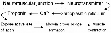 Plus One Zoology Chapter Wise Questions and Answers Chapter 9 Locomotion and Movement 2M Q26