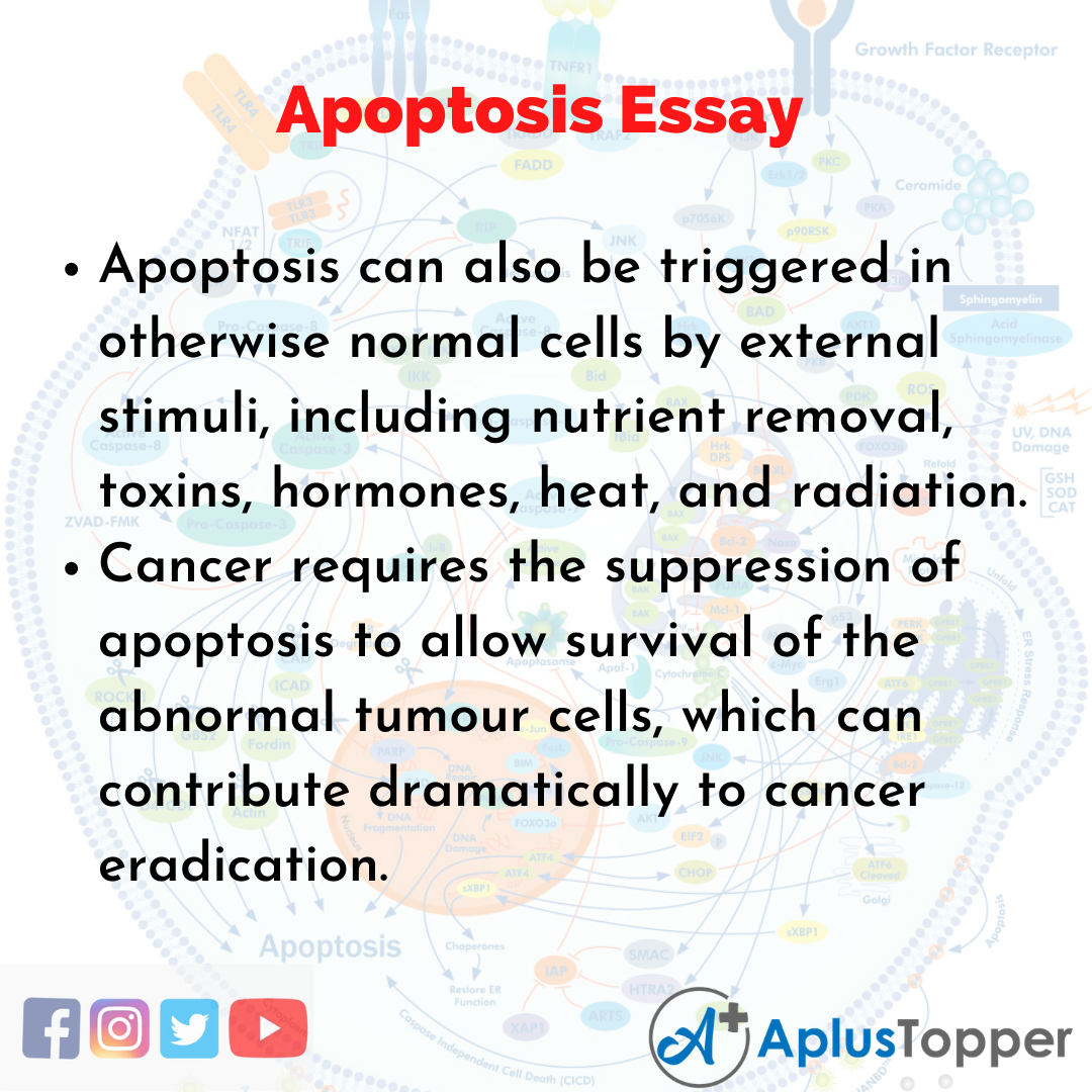 Essay about Apoptosis