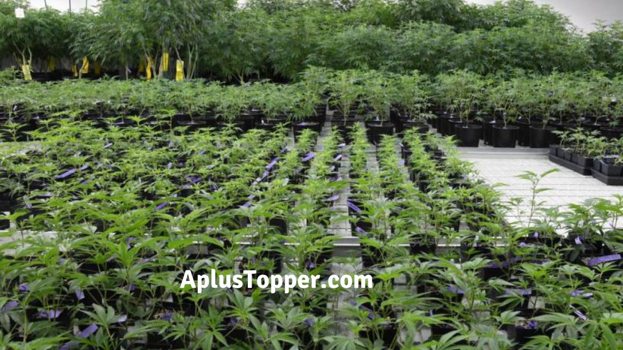 Legalizing Marijuana Persuasive Essay